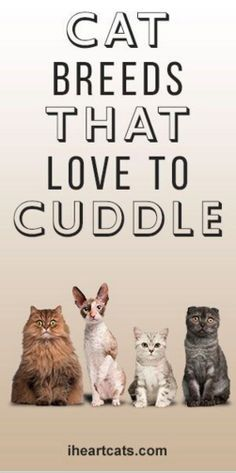 Cat Breeds That Love To Cuddle:  Bengal, Maine Coon, Persian, Ragdoll, Rex (Cornish & Devon Rex), Siamese, Tonkinese. | from iheartcats.com