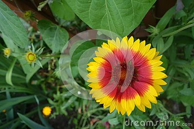 Gaylardiya flower is yellow with red centers