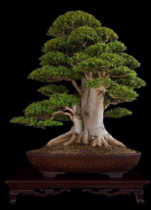 Great Bonsai tree by Nacho Marin, found at BonsaiBaison. www.bonsaiempire.com