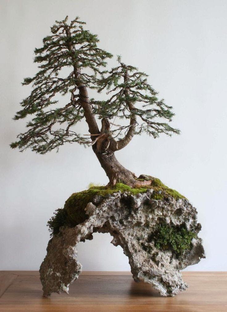 picea bonsai - Google Search