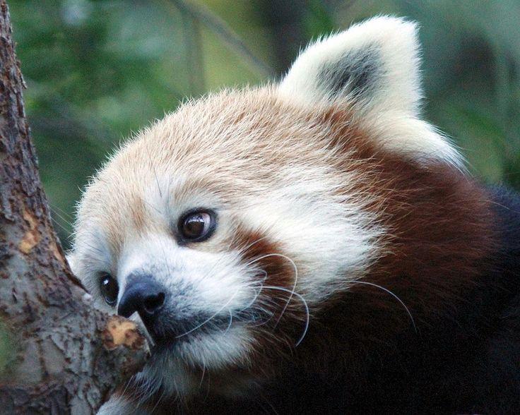 Assez 99 best red panda images on Pinterest   Red panda cute, Red pandas  EX76