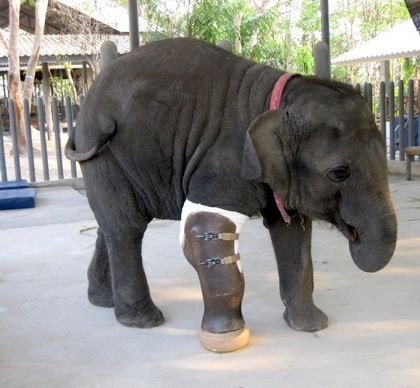 The Eyes of Thailand, a documentary film about two elephants,who lost legs to landmines. The movie chronicles their caretakers quest to build prosthetic legs for the elephants.