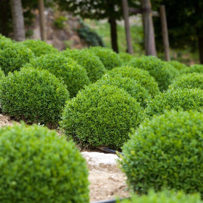 boxwoods green velvet boxwood