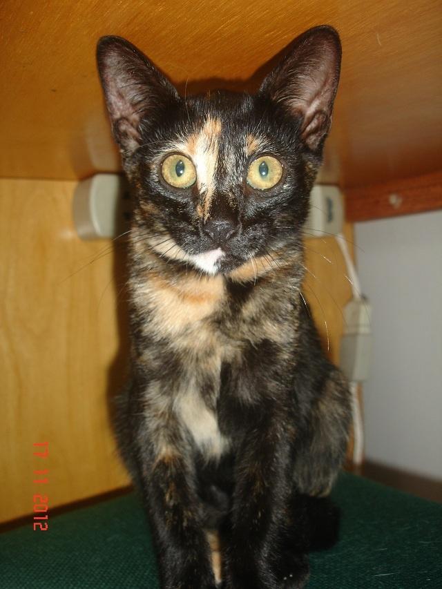 Sundae tem quase 4 meses, castrada, negativa para fiv/felv, muito dócil e brincalhona - adotargatinhos@gmail.com