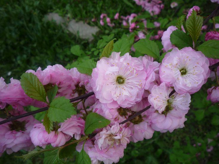 Így varázsolj tündérkertet babarózsával: metszd meg virágzás után, neveld nyírt sövénynek, ültesd a sétaút mellé. Bonsai növénnyé is nevelheted. http://kertlap.hu/varazsolj-tunderkertet-babarozsaval/