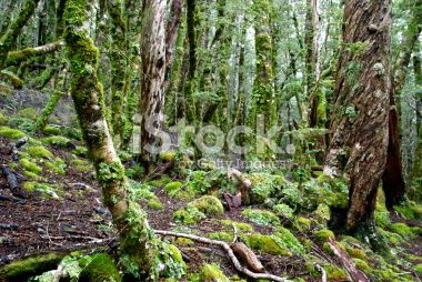 Kahurangi National Park Flora (Nothofagus menziesii) Royalty Free Stock Photo