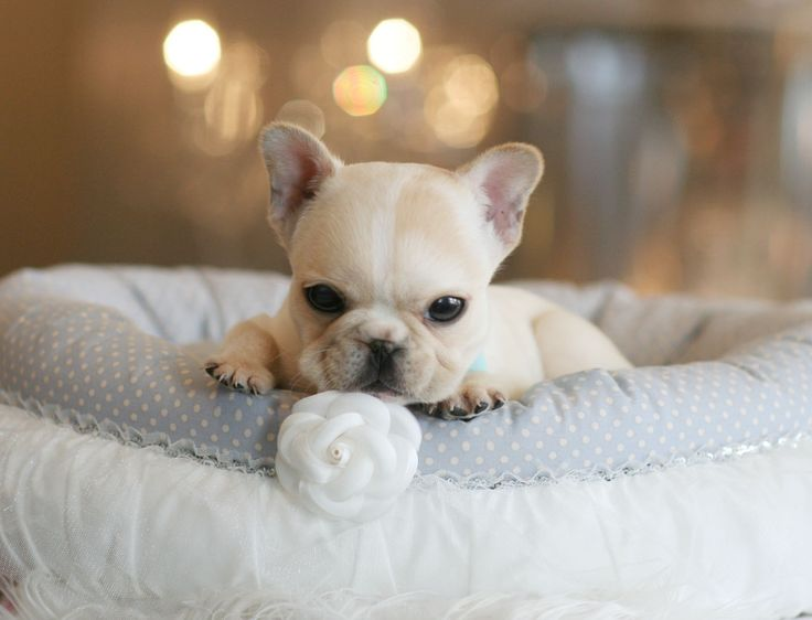 ♥♥♥ Super Tiny French Bulldogs! ♥♥♥ Bring This Perfect Baby Home Today! Call 954-353-7864 www.TeacupPuppies... ♥ ♥ ♥ TeacupPuppiesStore - Teacup Puppies Store Tea Cup
