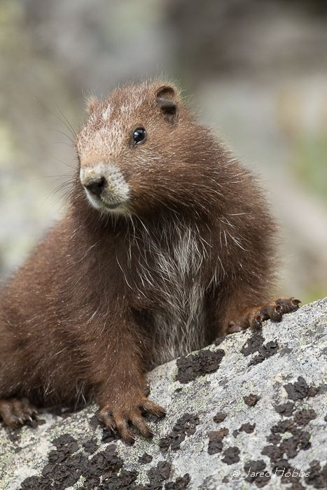 The Vancouver Island marmot (Marmota vancouverensis) is one of the largest members of the squirrel family (about the size of a large house cat). Other members of the Sciuridae family include chipmunks, squirrels and woodchucks.