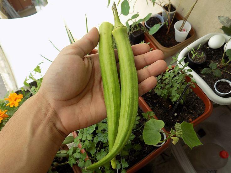 Como Plantar Quiabo Incrível (incio,meio,fim)