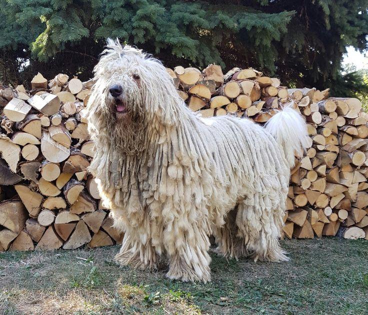 #komondor #dog #dogs