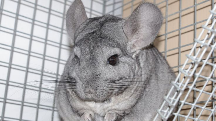 Shut Down This Cruel Animal Breeder!: In a three-month period, the massive animal mill Holmes Chinchilla Ranch shipped more than 20,000 guinea pigs, hamsters, and gerbils to big-box and other stores. Many of the mice, rats and rabbits you see at pet suppliers come from them as well. Holmes has been allowed to continue to supply all these...