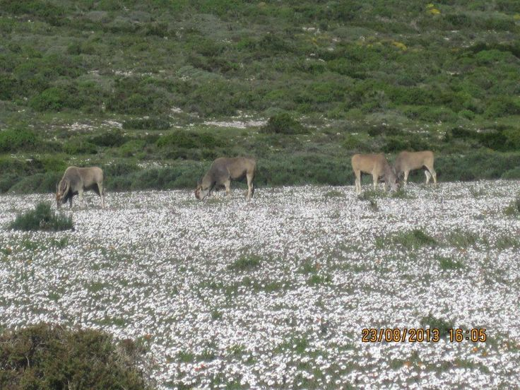 Elands at Postberg