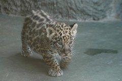 超可愛い 大阪の天王寺動物園が4月に生まれたジャガーの赤ちゃんを公開しています 名前を募集しているそうですよ tags[大阪府]