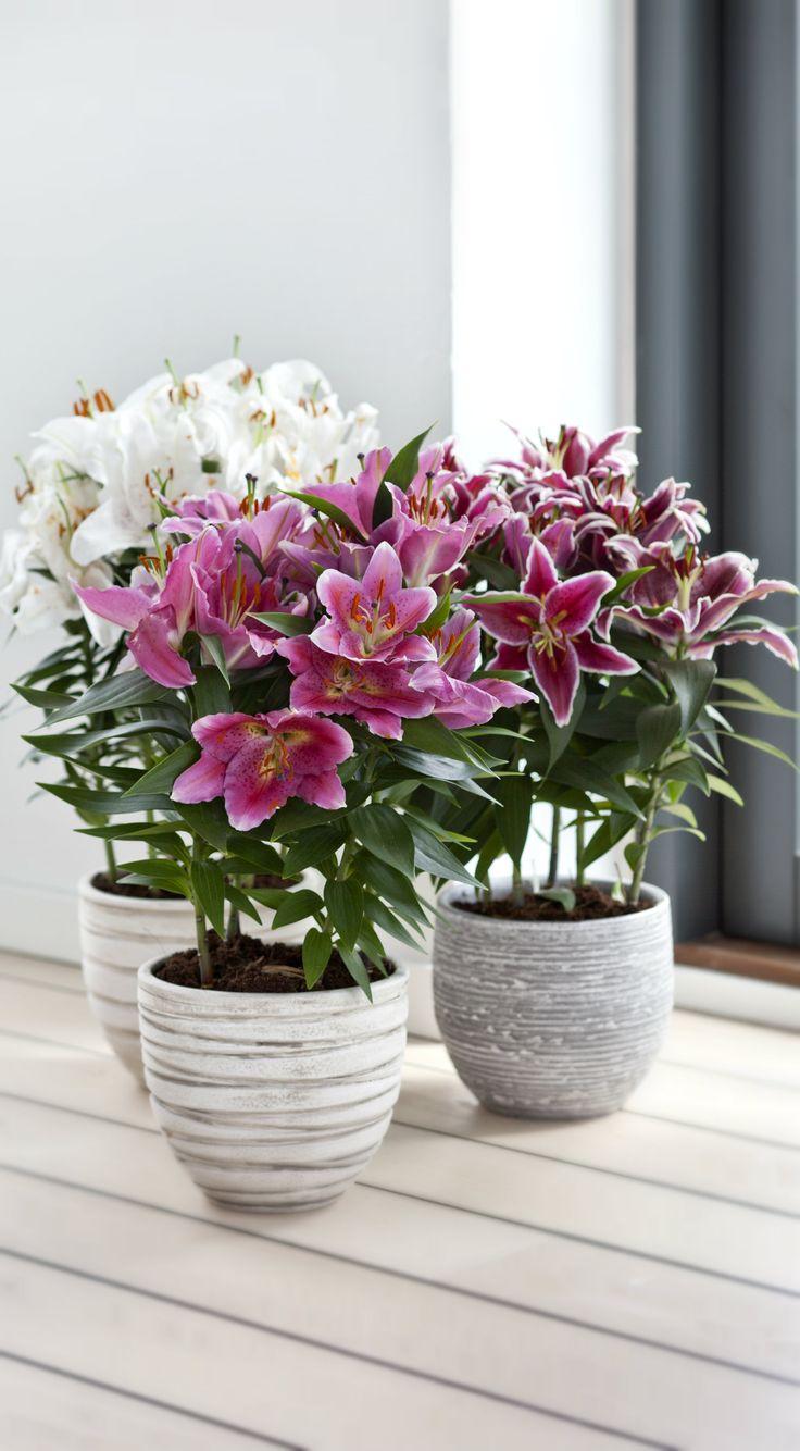 Liljer er smukke og overdådigt blomstrende løgplanter, som kan bruges i krukker inde og ude. #liljer #smukkeliljer #liljerikrukke #blomstrendestueplanter #løgvækster #løgplanter #lilium #lily #lilyflowers #plantorama