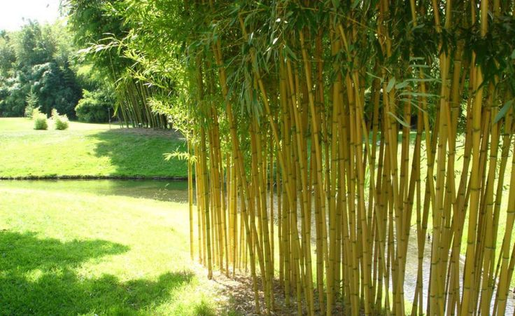31 besten bambus bilder auf pinterest bambus asiatisch und garten ideen - Bambus garten pflege ...