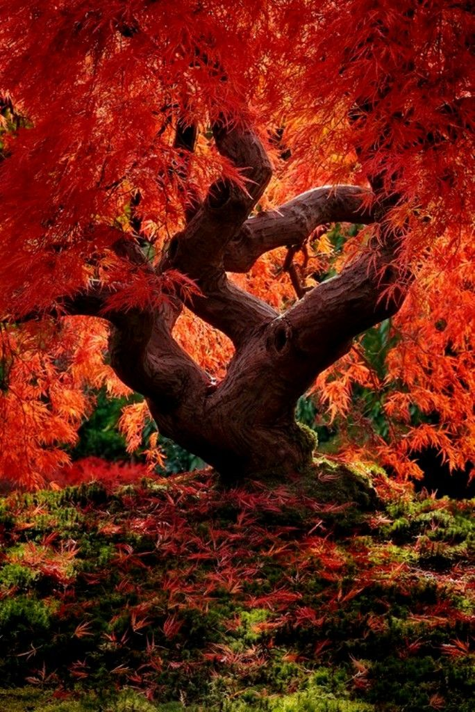 Dragon Tree, Japanese Garden, Portland
