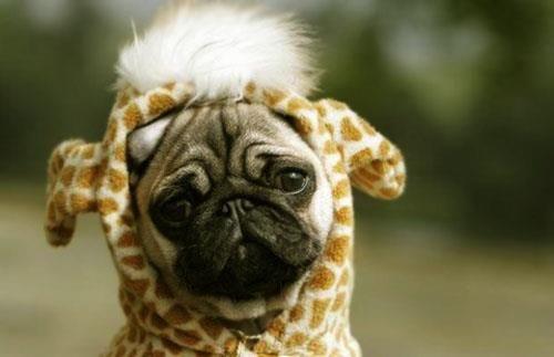 Мопс в костюм жирафа