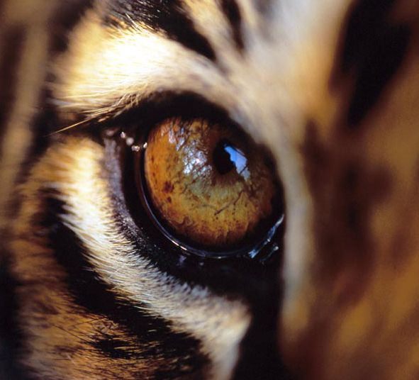 Drawing Realistic Tiger With Pencil-Eyes » OnlyPencil Drawing Tutorials
