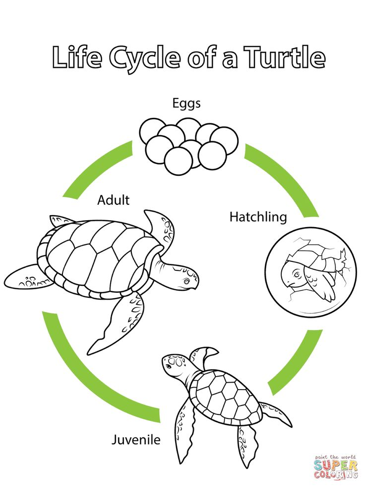 Life Cycle Of A Turtle Coloring Page From Biology Category