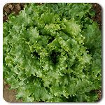 Organic Bergam's Green Lettuce