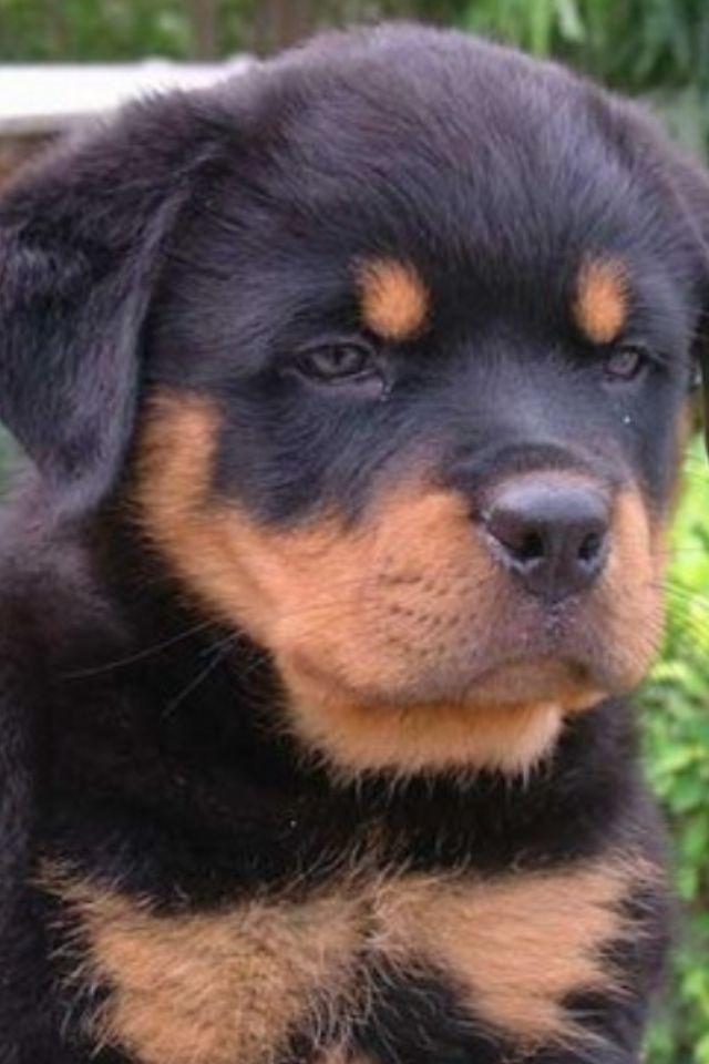 Fluffy Rottweiler puppy
