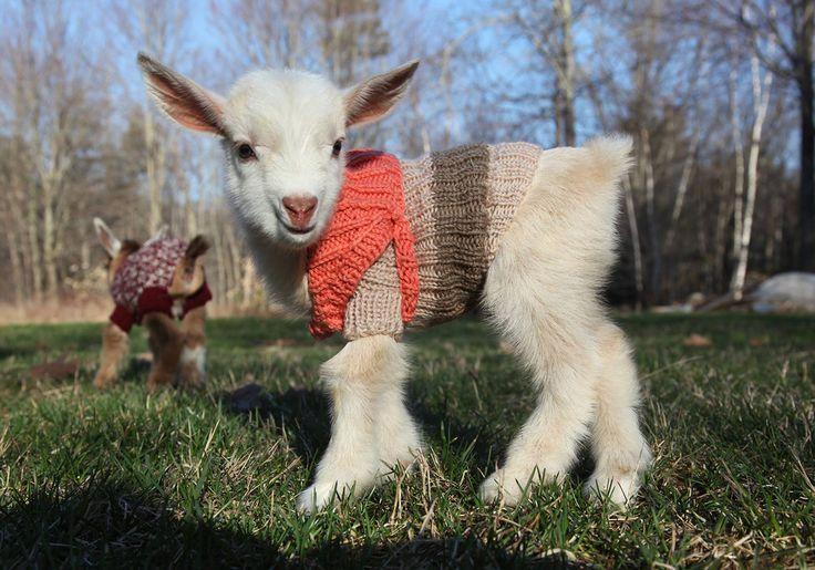 Esses três filhotes de cabra vestindo suéter são as coisas mais fofas do dia