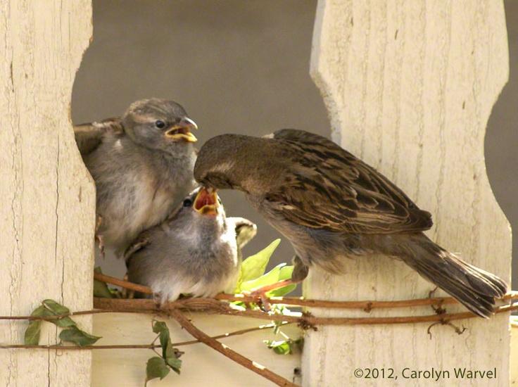 Mother feeding baby birds in my backyard