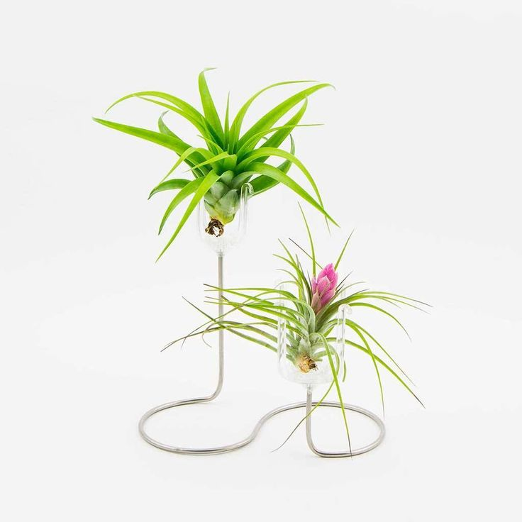 17 best ideas about air plant display on pinterest air for Air plant holder ideas