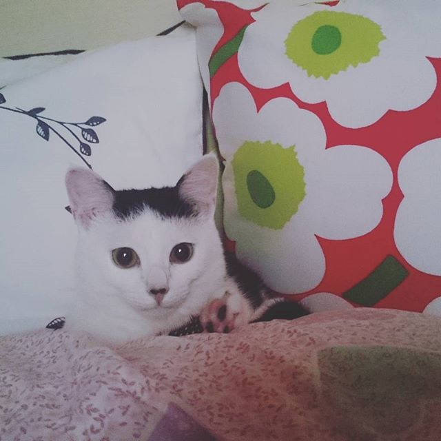 good morning:) 枕とクッションの間がお気に入りのオッティ😺 #favoriteplace#goodmorning#mycat#lovecat#thismorning#marimekko#catgram#和猫#愛猫#ねこすたぐらむ#マリメッコ#和室#北欧#ベッド#狭いところが好き#かわいい ベッドカバー#zarahome  クッション#ikea#marimekko