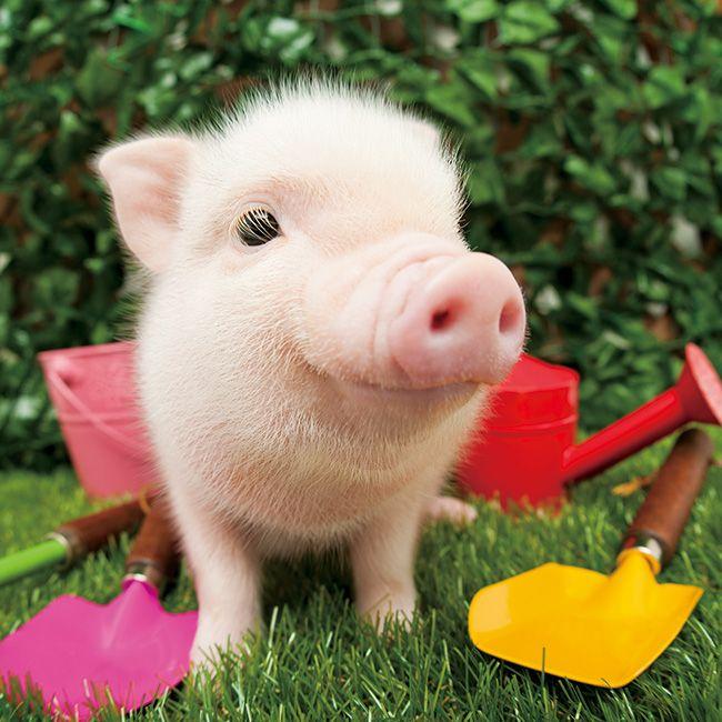 庭にやって来た豚の赤ちゃん