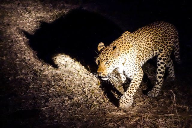 Leopard on night game drive