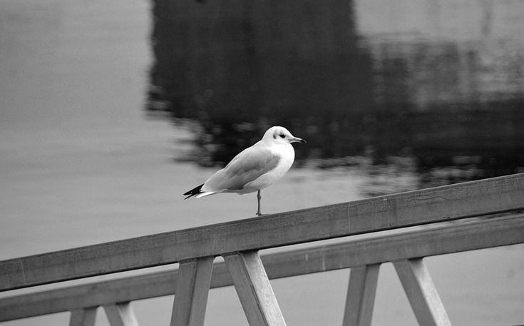 #animalier #faune #la nature #mouette #mouette rieuse #noir et blanc #oiseau #ornithologie