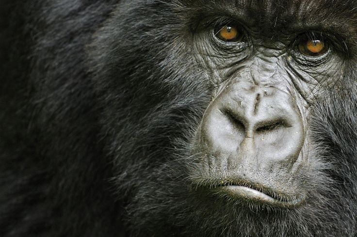 Angry Animals Google Search: Angry Silverback Gorilla Images - Google Search
