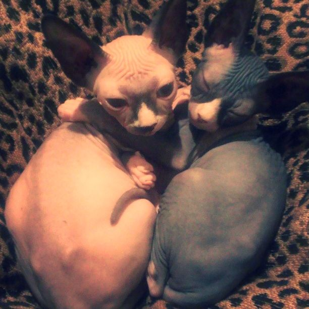 My sphynx babies :) Isis and Osiris