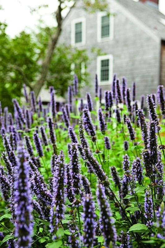 Agastache 'Black Adder' aka Anise Hyssop. A long-flowering cultivar that starts to bloom in midsummer and continues until early fall. Use this perennial to provide color in the garden late in the season when many other plants are finished. Its foliage smells distinctly like black licorice when crushed, thus its common name, Anise Hyssop.