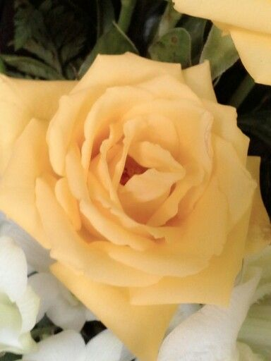 Yellow rose, up close n macro...
