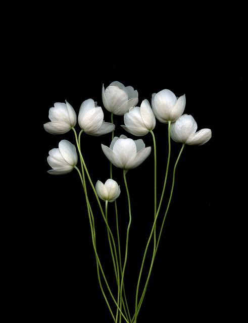 Anemone canadensis -- by horticultural art