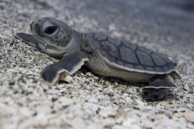 Our Beaches are a Prime Nesting Site for Endangered Sea Turtles | Sarasota Magazine