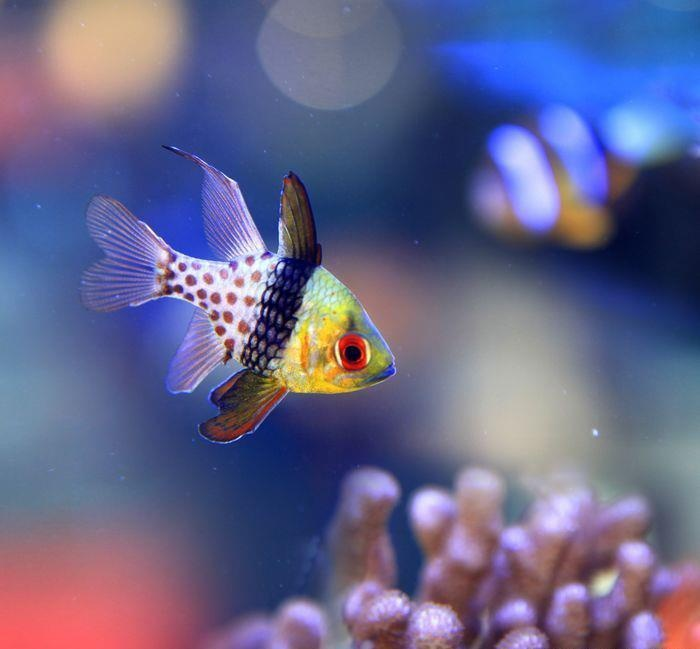 Beautiful this is a pj cardinal we have two of them in for Beautiful tropical fish
