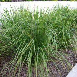 Lomandra longifolia, Mat-Rush