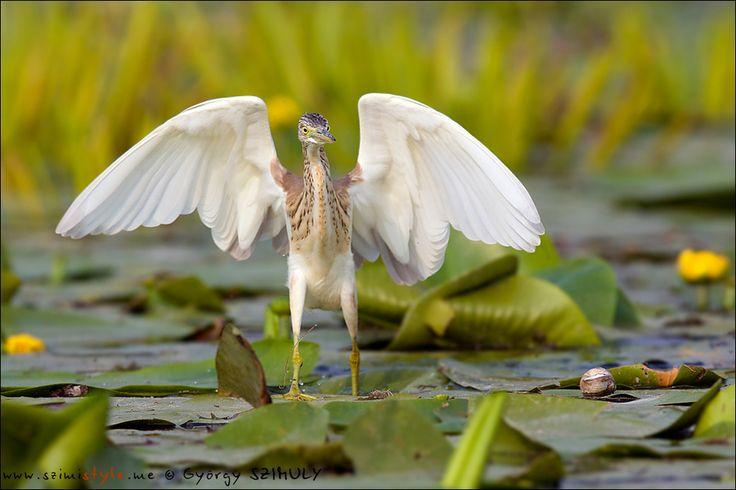Squacco Heron (Ardeola ralloides) by Gyorgy Szimuly on 500px - Danube Delta ♦ Romania. #romania