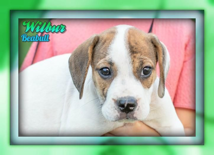 Wilbur Male Beabull Puppy Full Price 425 00 Deposit Puppies