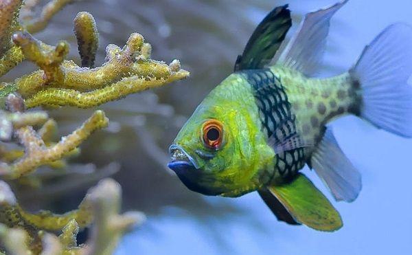 marine aquarium aquascaping ideas saltwater fish species Pajama Cardinalfish #aquarium #fish