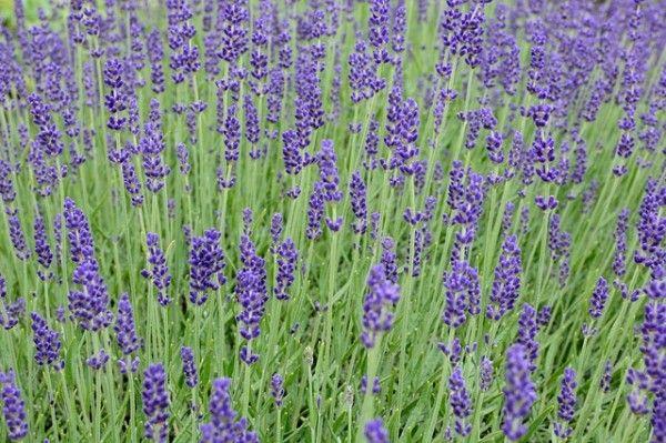 lavender-813758_640