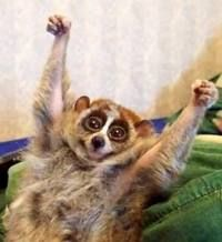 We must STOP THE ILLEGAL TRADING OF THE LORIS! It is so