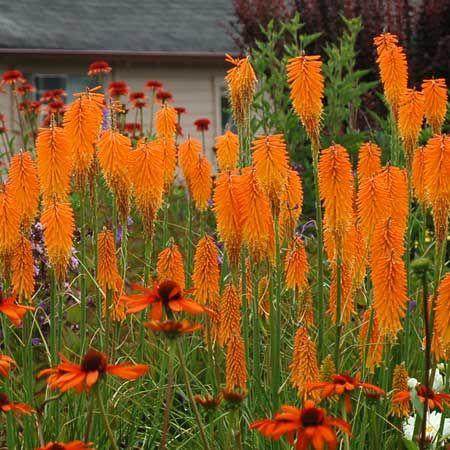 MANGO POPSICLE Red Hot Poker | Summer Garden Plants ...