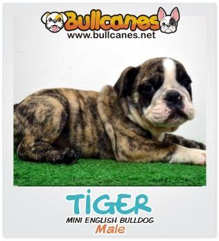 TIGER - Male Miniature English Bulldog Puppy For Sale http://www.bullcanes.net / ceo@bullcanes.net / Facebook: bullcanes1@hotmail.com / instagram: @BULLCANES Bulldog puppies for Sale / Twiter: bullcanes1 / YouTube: Bullcanes Bulldog Kennel
