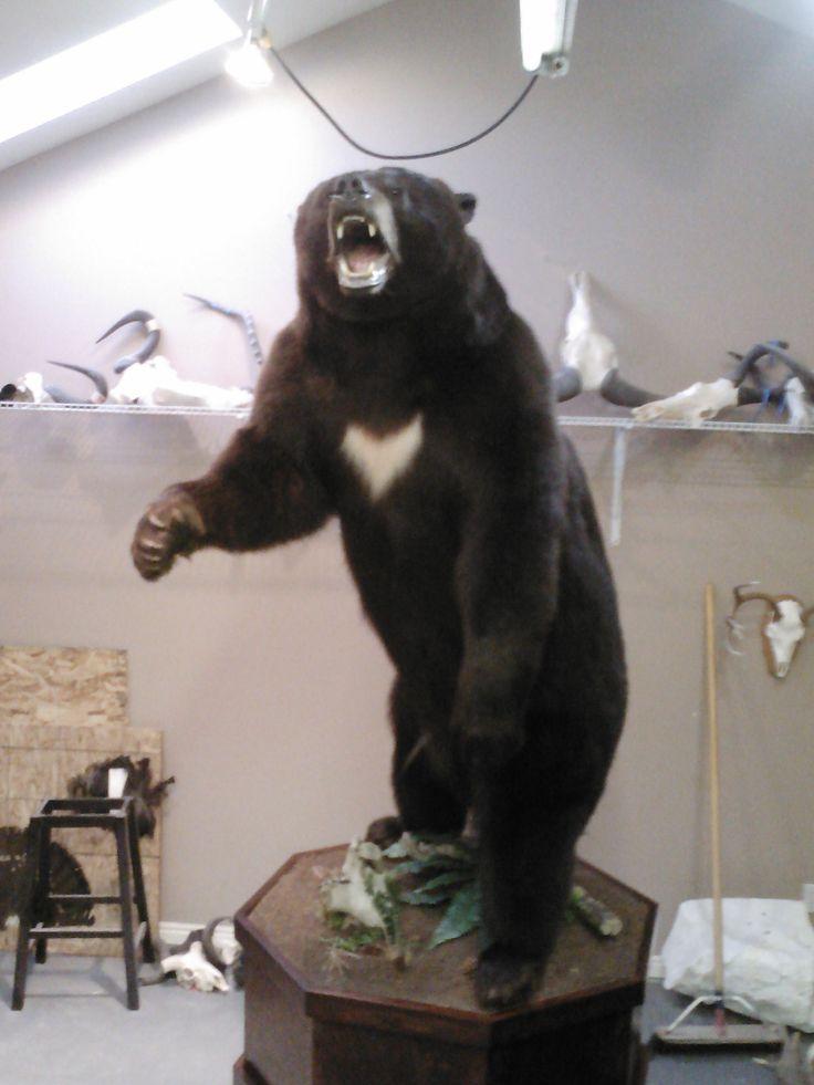 Very Nice Black Bear Full Curl Taxidermy Pinterest