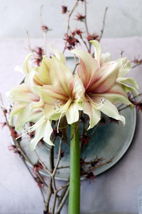 #Amaryllis #Inspiration Möchten Sie mehr Information? Schauen Sie dann unsere Seite an! http://www.heyl.nl/website/detail/681/