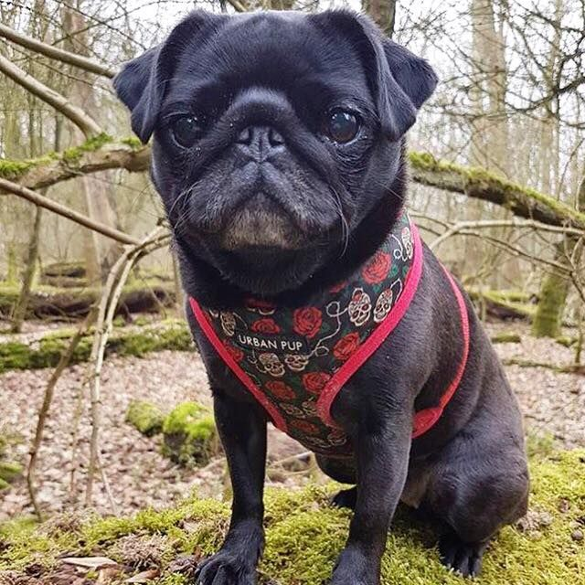 Maggie The Pug In Her Urban Pup Skulls Roses Soft Harness